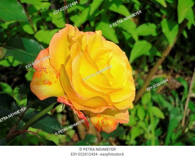 orangefarbene Rose