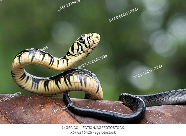 Juvenile Large-scaled Ratsnake (Spilotes megalolepis), (Colubridae), Amazon rainforest, Canande River Reserve, Choco forest, Ecuador