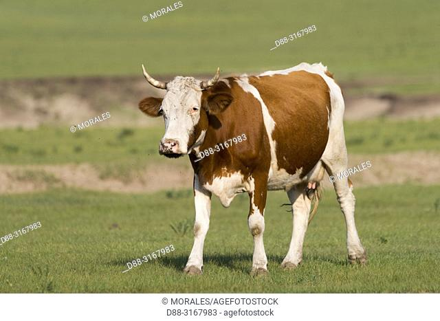 China, Inner Mongolia, Hebei Province, Zhangjiakou, Bashang Grassland, cow in the prairie