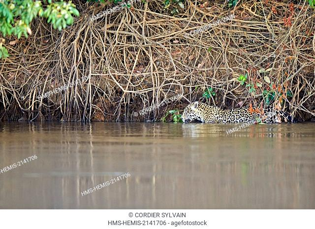 Brazil, Mato Grosso, Pantanal region, jaguar (Panthera onca), walking in the river