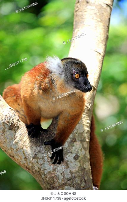 Black Lemur, Eulemur macaco, Nosy Komba, Madagascar, Africa, adult female on tree