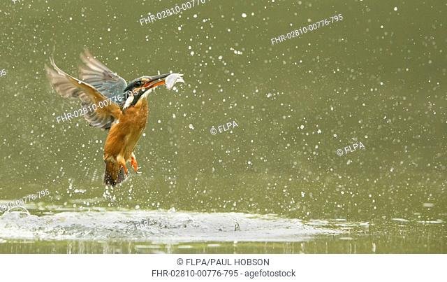 Common Kingfisher (Alcedo atthis) adult female, in flight, emerging from water with fish in beak after dive, England, May