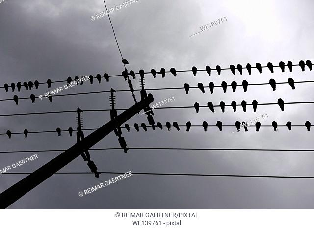 Flock of pigeons sleeping while lined up on hydro wires against dark clouds