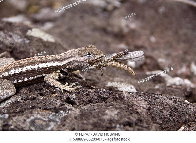 Galapagos lava Lizard eating small Painted Locust - San Cristobal island