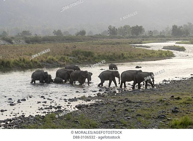 Asia, India, Uttarakhand, Jim Corbett National Park, Asian or Asiatic elephant (Elephas maximus), Group crossing and drinking the river Ramganga