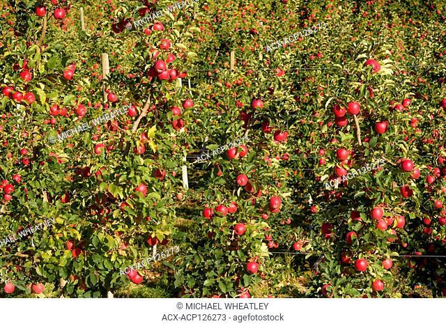 Apples on orchard trees, Osoyoos, Okanagan Region, British Columbia, Canada