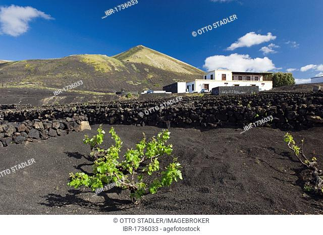 Wine-growing, dryland agriculture on lava, volcanic landscape at La Geria, Lanzarote, Canary Islands, Spain, Europe