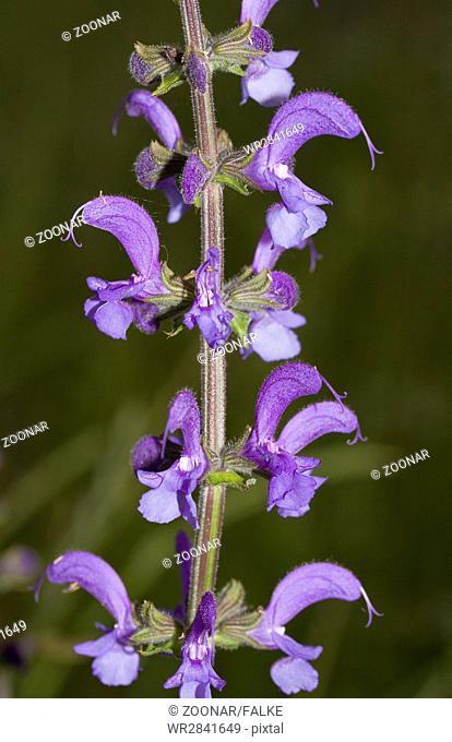 Meadow clary Salvia pratensis