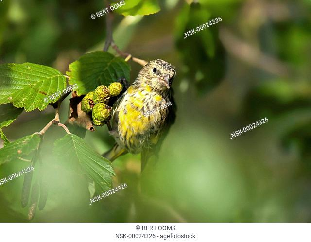 Young male Eurasian Siskin (Spinus spinus) fouraging on female cones of common alder (Alnus glutinosa), Norway, Oppland, Hov, Randsfjorden