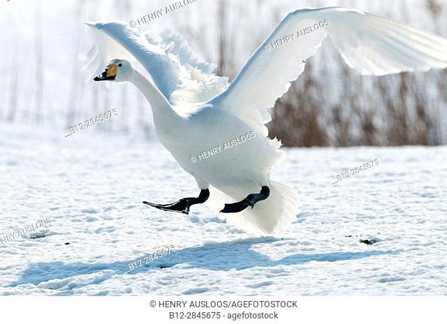 Whooper swan flying (Cygnus cygnus), Landing, Japan