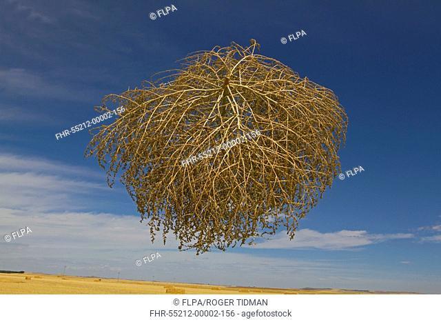 Tumbleweed (Salsola tragus) windblown dried plant, in mid-air over farmland, Spain, August