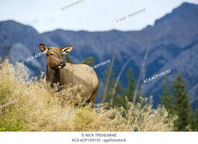 Female Elk, Cervus canadensis nelsoni, Rocky Mountains, Alberta, Canada