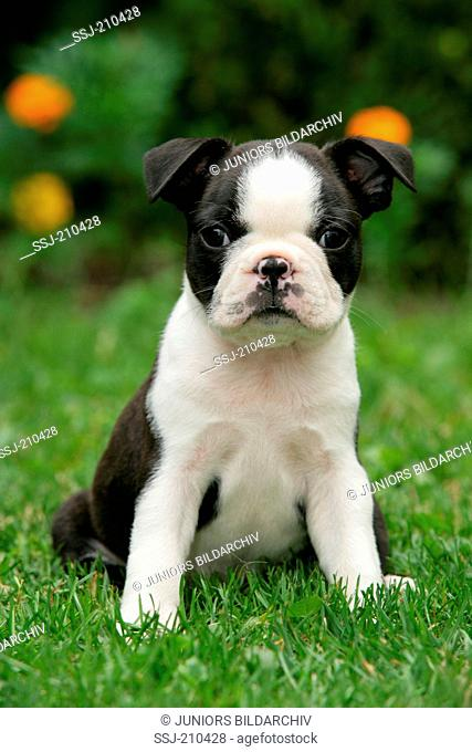 Boston Terrier. Puppy sitting on a lawn in a garden. Germany