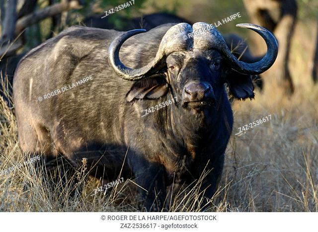 African buffalo, also know as Cape Buffalo (Syncerus caffer). Kruger National Park. Mpumalanga. South Africa