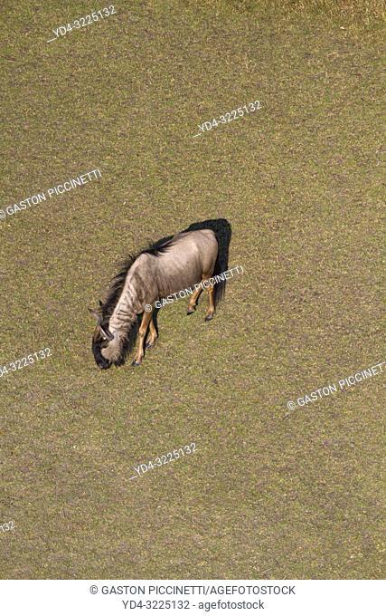 Aerial view of blue wildebeest (Connochaetes taurinus), Okawango Delta, Botswana. The Okavango Delta is home to a rich array of wildlife