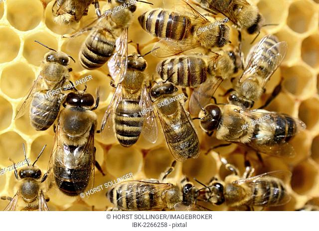 Honey bees (Apis mellifera var carnica), worker bees and male drones on bright honeycomb