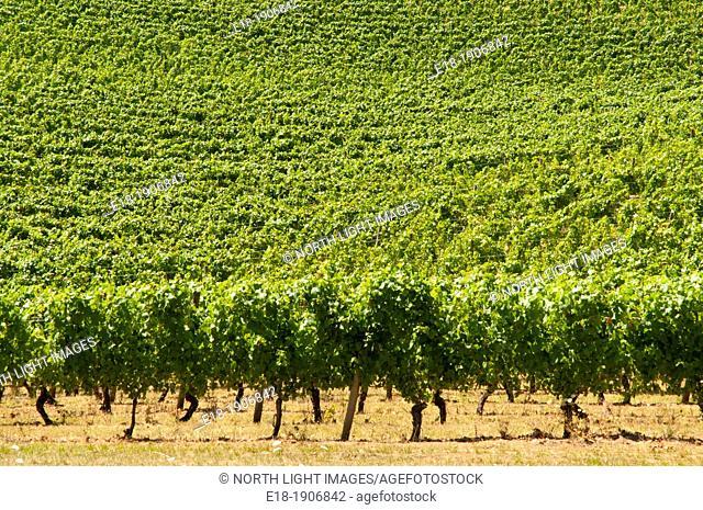 USA, Oregon, Portland, Willamette Valley  Pinot Noir Vineyards of the Elk Cove Winery