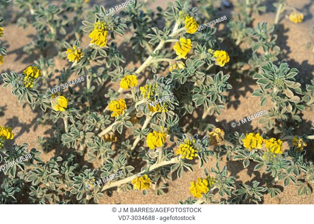 Sea medick (Medicago marina) is a prostrate perennial herb native to Mediterranean, Portugal and France coastline. This photo was taken in Pals beach
