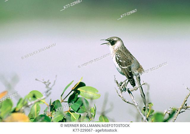 Galapagos Mockingbird (Nesomimus parvulus). Isla Fernandina. Galápagos Islands