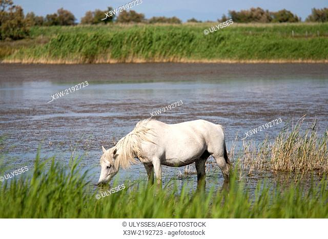 white horse, camargue, provence, france, europe