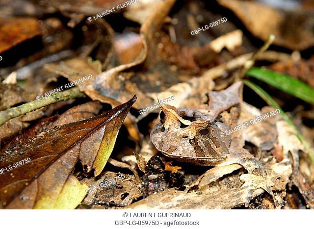 Animal, Toad-ox, Serra do Mar State park, Núcleo Santa Virgínia, São Paulo, Brazil