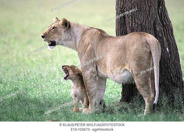 Lioness (Panthera leo) with yawning cub. Masai Mara, Kenya