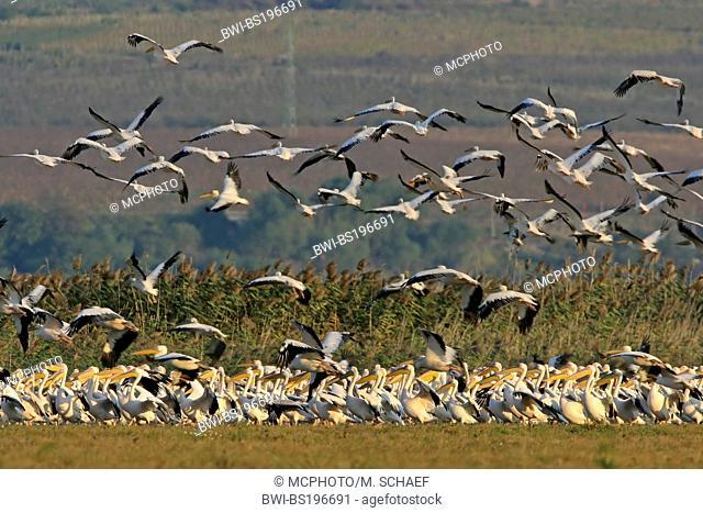 eastern white pelican (Pelecanus onocrotalus), resting flock, Bulgaria