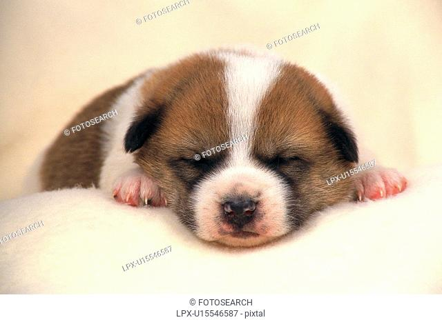 a Puppy Sleeping on a White Fluffy Carpet, Front View, Differential Focus