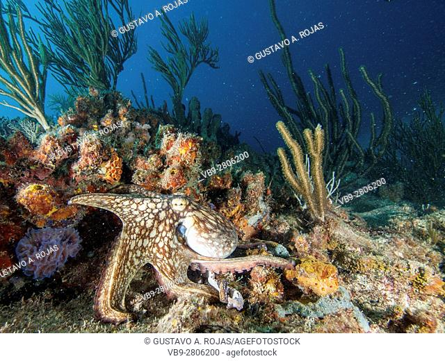 Common octopus octopus vulgaris hunting on coral reef