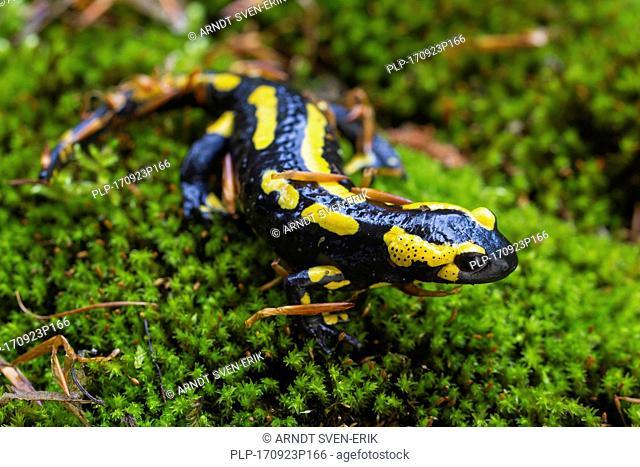 European salamander / Fire salamander (Salamandra salamandra) on moss in forest