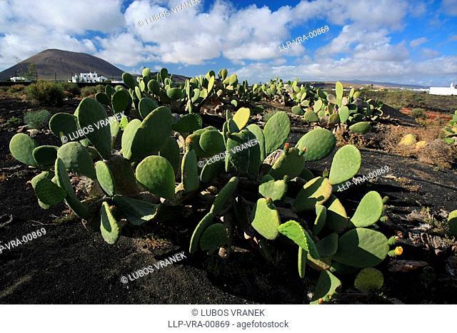 cactus, Lanzarote