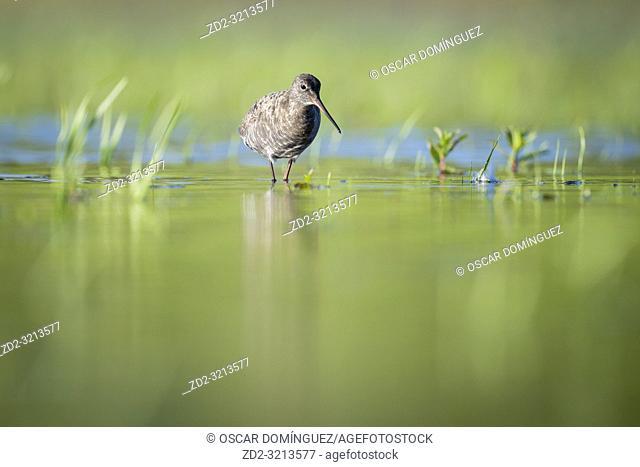 Spotted Redshank (Tringa erythropus) foraging in shallow water. Lubana Wetland Complex. Latvia
