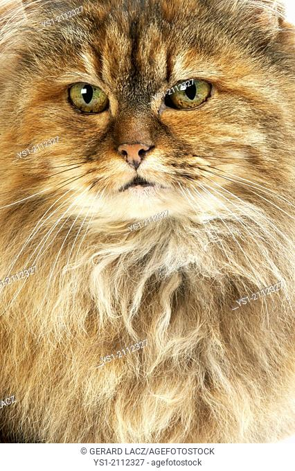 Tortoiseshell Persian Domestic Cat, Portrait of Female
