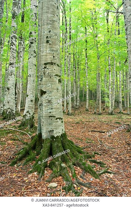 Beeches forest,Ordesa and monte perdido national park, Huesca province, Aragon, Pyrenees, Spain