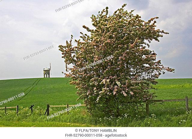 Midland Hawthorn Crataegus laevigata habit, flowering, Chesterton Windmill in distance, Warwickshire, England, spring