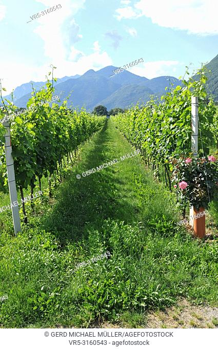 South Switzerland: The wine-yards in the Maggia Delta near Ascona City in canton Ticino