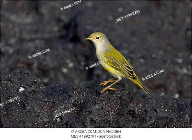 Yellow Warbler - Perched on a rock - Garner Bay - Espanola Island - Galapagos Islands Yellow Warbler - Perched on a rock - Garner Bay - Espanola Island -...
