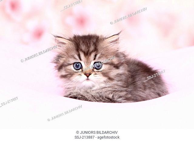 Persian Longhair. Kitten (6 weeks old) lying on a pink blanket. Germany