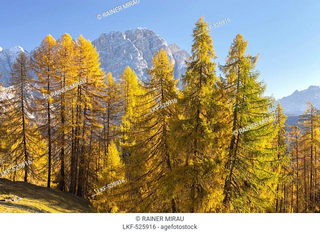 Monte Cristallo with larch trees, Veneto, Dolomites, Italy