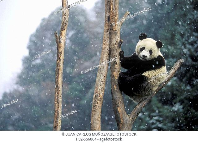 Giant Panda (Ailuropoda melanoleuca).  Wolong National Natural Reserve. China