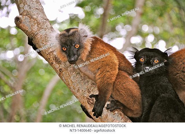 Southern Africa, Madagascar, lemurs, Eulemur Macao
