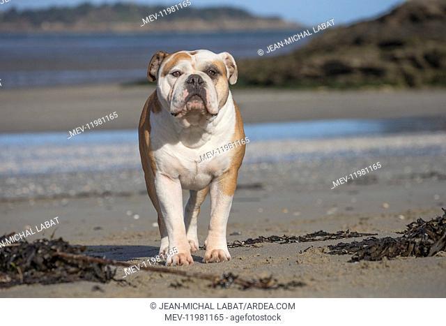 Dog, Continental bulldog, portrait on beach