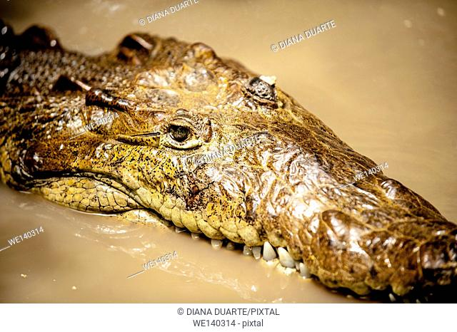 'American crocodile (Crocodylus acutus)'. The bodies of water in which they live are usually in lowland dry, moist, or wet forests