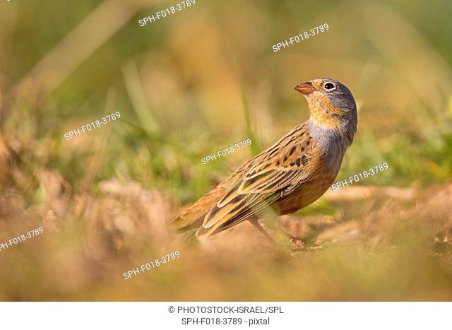 Male Cretzschmar's bunting (Emberiza caesia) is a passerine bird in the bunting family Emberizidae. Photographed in Israel in March