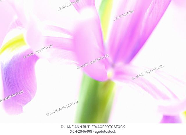 purple iris on a white background, fresh and contemporary still life