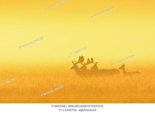 Fallow Deers (Cervus dama) on misty morning at sunrise, Hesse, Germany, Europe