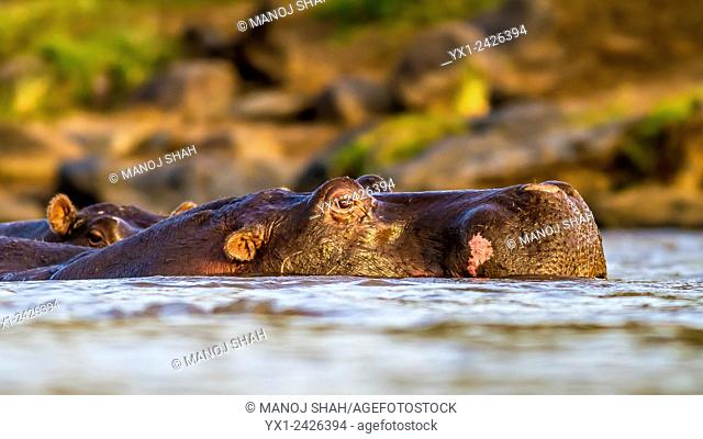 Eye level close up of Hippo in water. Masai Mara National Reserve, Kenya