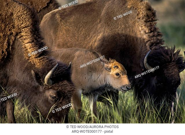 On Wednesday May 3, the first genetically pure bison calf was born on the Wind River Reservation, WY, in over 130 years. This birth follows the return of bison