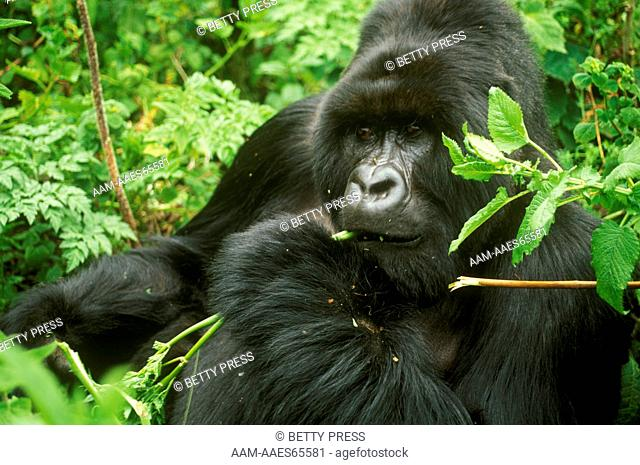 Mountain Gorilla eating (Gorilla gorilla berengei) Parc des Volcans, Rwanda