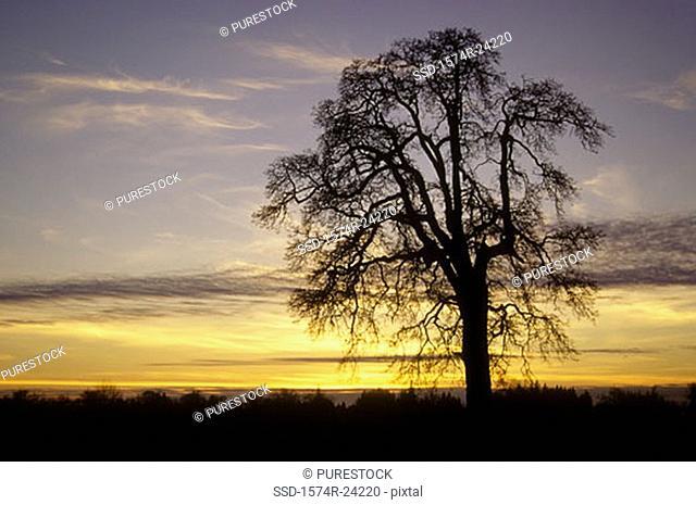 Silhouette of an oak tree, Oregon, USA